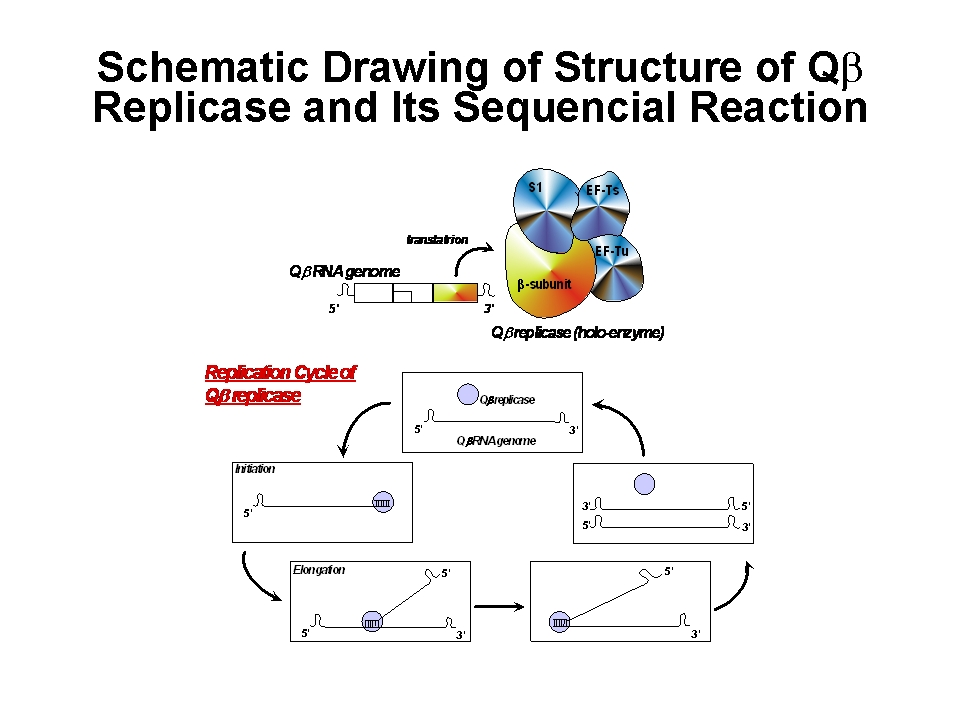 replicase.tif 大腸菌を「宿主」としたRNAウイルスであるQβファージは、セントラル